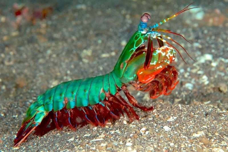 mantis marina multicolor pregadeu