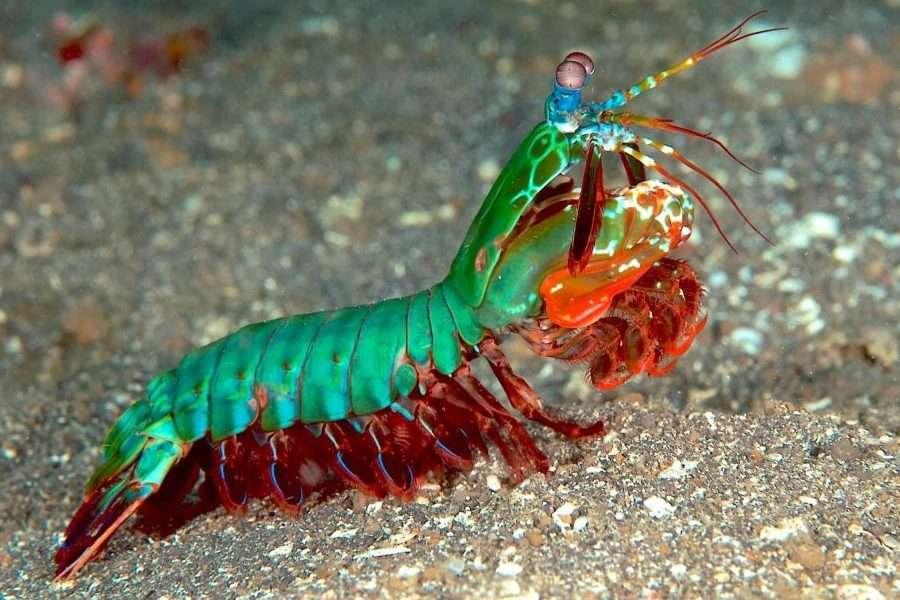 En este momento estás viendo La mantis marina es tu animal favorito (pero aún no lo sabes)