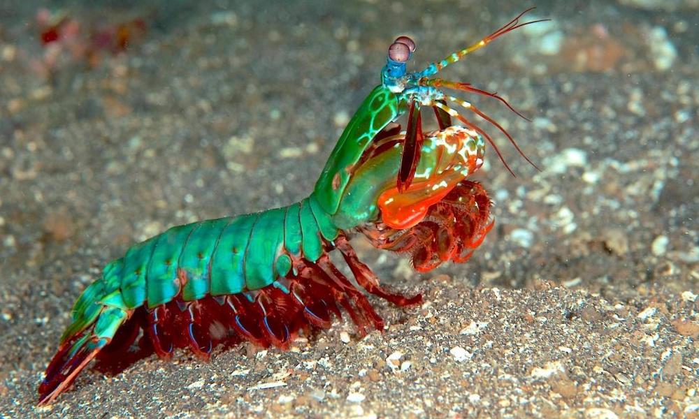 La mantis marina es tu animal favorito (pero aún no lo sabes)