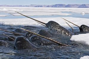 Read more about the article Els unicorns viuen al mar (i no tenen banya)