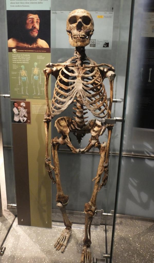Homo neanderthalensis esqueleto esquelet