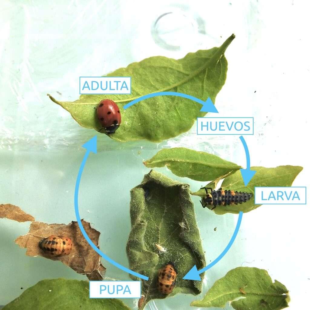 cicle vital marieta mariquita coccinella septempunctata mireia querol