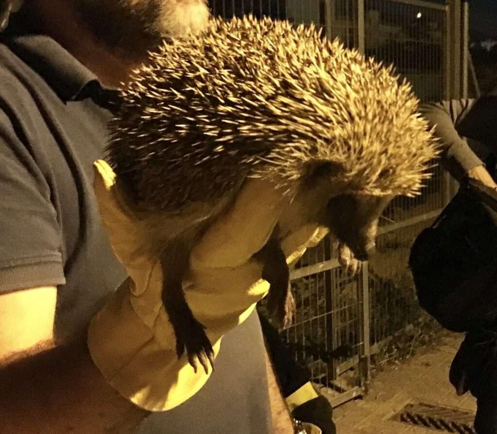 erizo europeo noche guantes rescatar erizos ciudad Barcelona