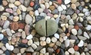 No tropieces dos veces con esta piedra: ¡es una planta!