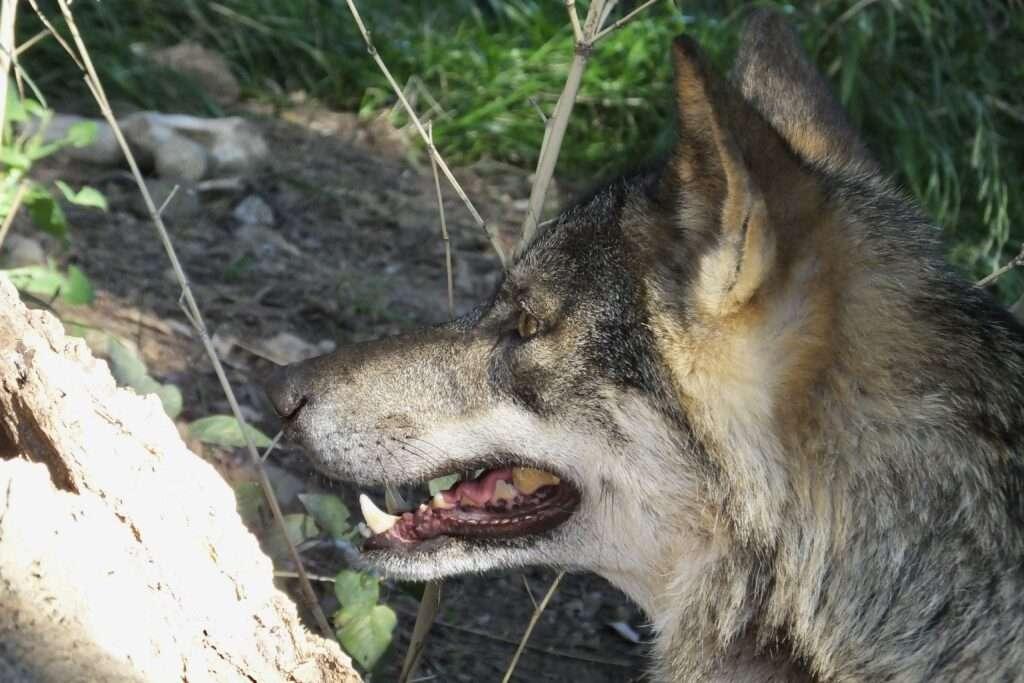 lobo ibérico canis lupus signatus cautividad gualba associacio signatus mireia querol rovira