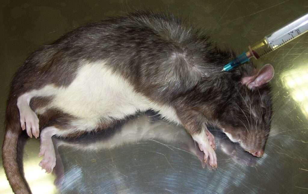 eutanasia veterinaria rata intracardica