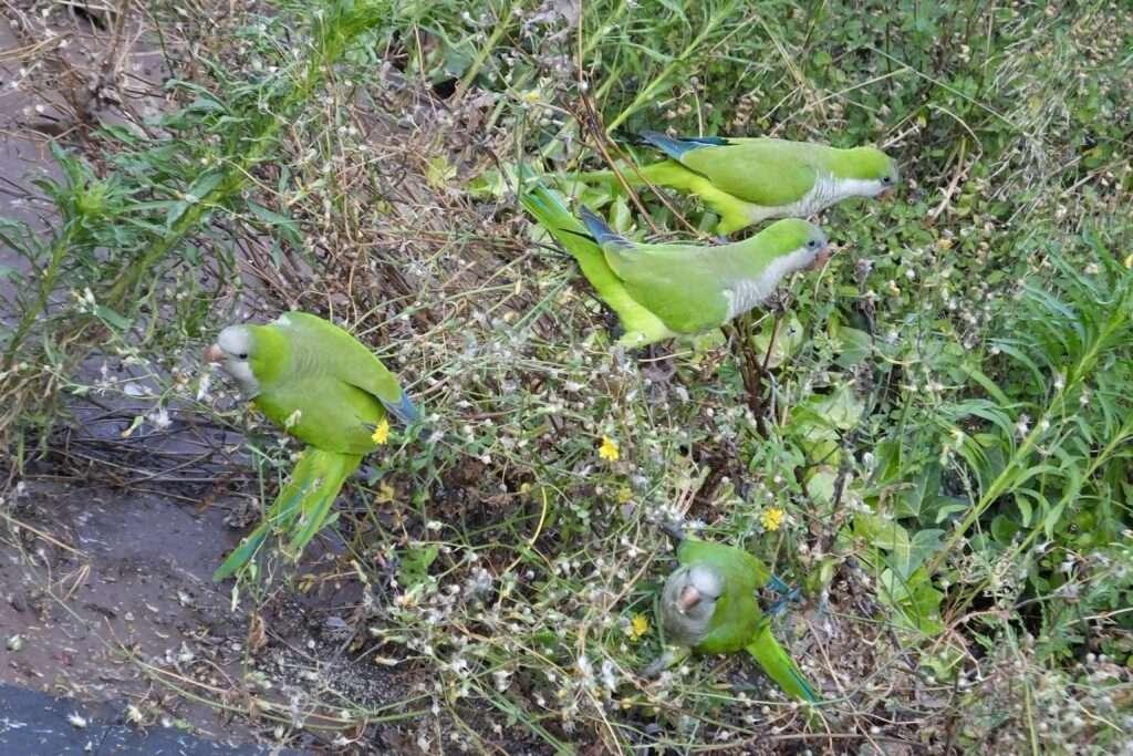 aves urbanas aus urbanes aves exoticas tipos de pajaros ocells ciutat ciudad
