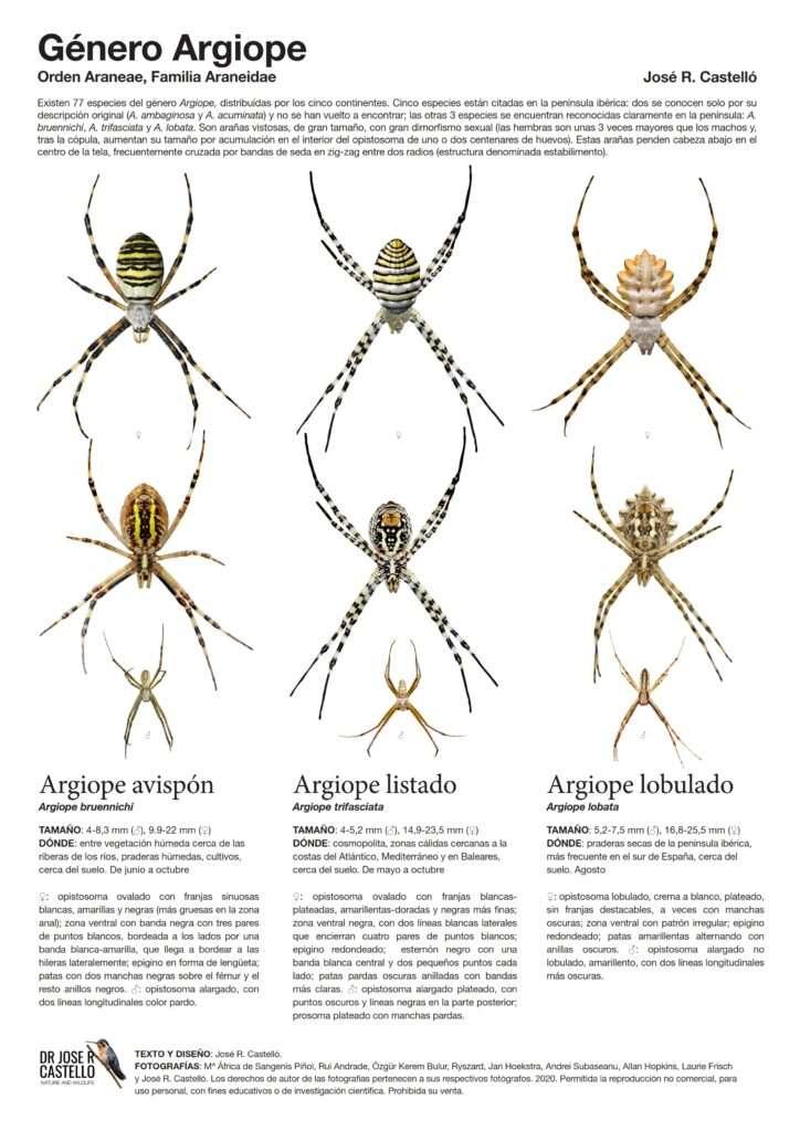 poster calidad arañas argiope