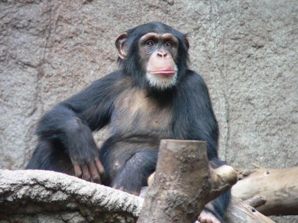 ximpanzé assegut