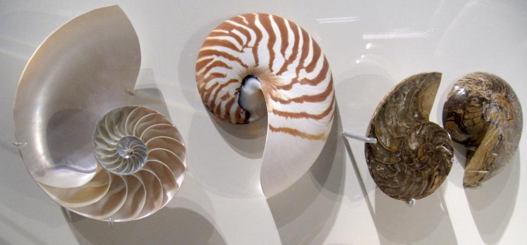 nautilus, ammonit, fòssil