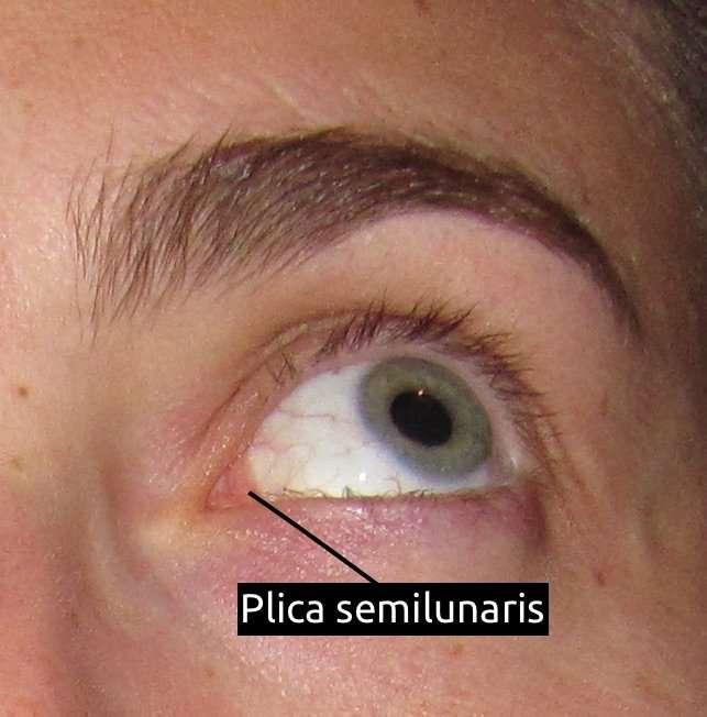 membrana nictitante plica semilunaris