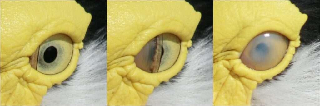 membrana nictitant aus aves tercer párpado