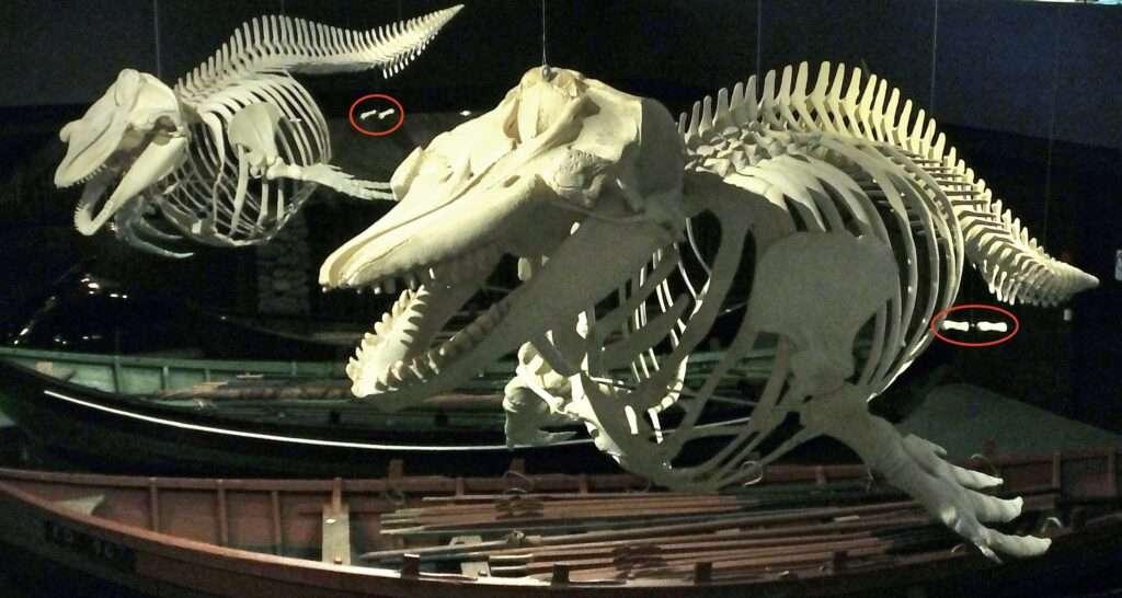 esqueleto calderon delfin ballena pata vestigial