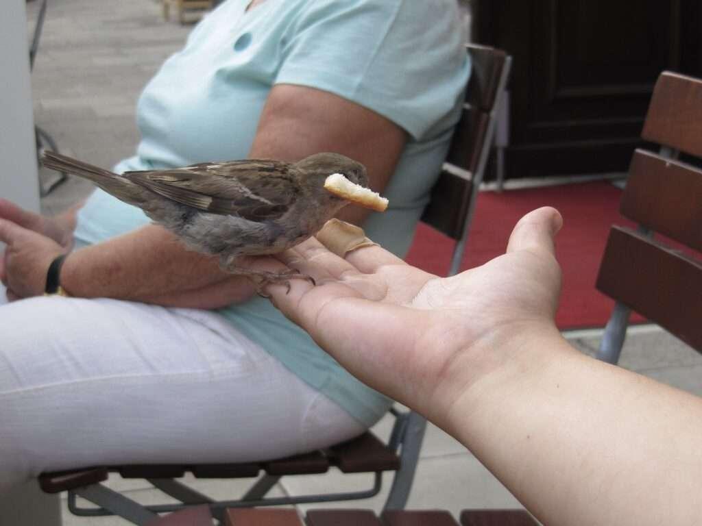 pardal menjant pa gorrion en la mano