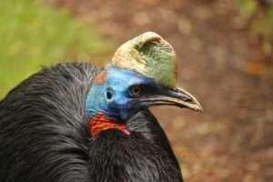 El casuario: el ave más peligrosa del mundo