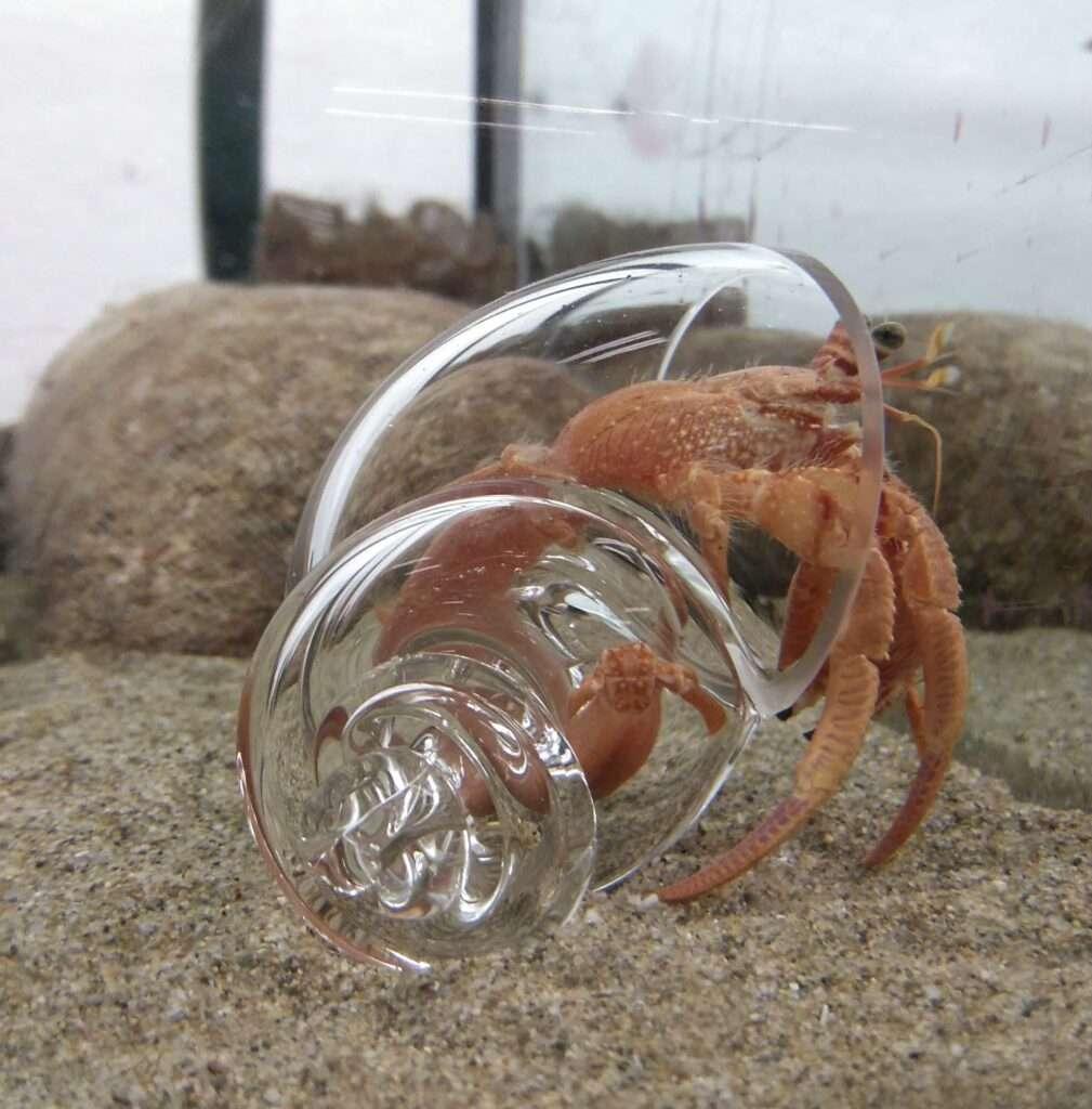 ermitaño cangrejo simbiosi cran ermita concha closca cargol caracol