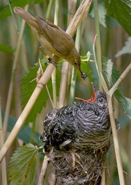 cuco parasito nido pajaro alimentando a pollito