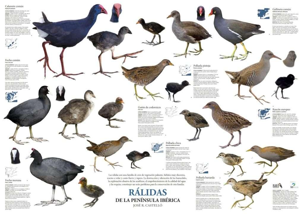 postere aves ralidas descargar ralides
