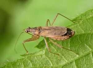 Nabis rugosus hotel de insectos para niños