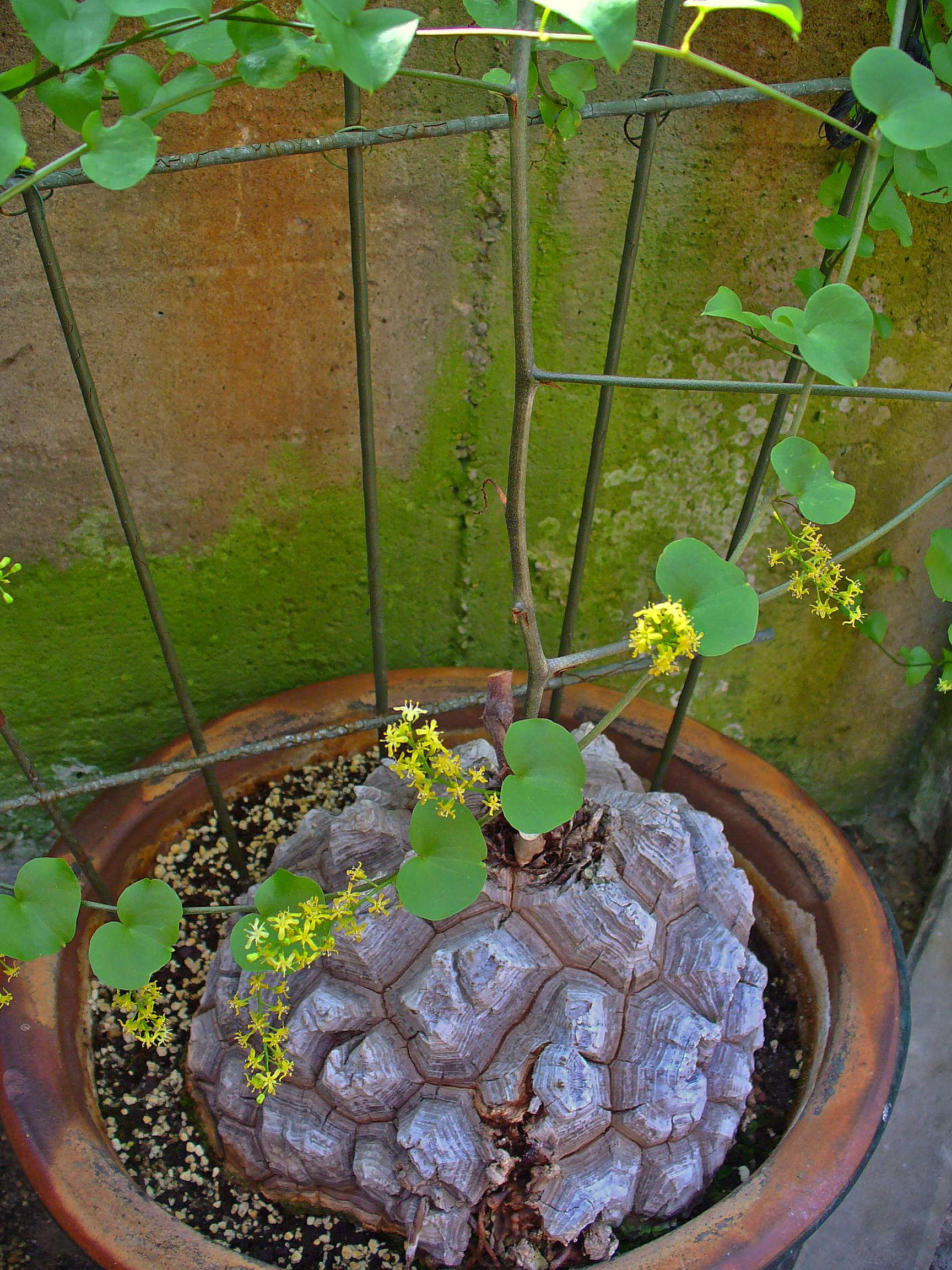planta caparazon de tortuga roca viva
