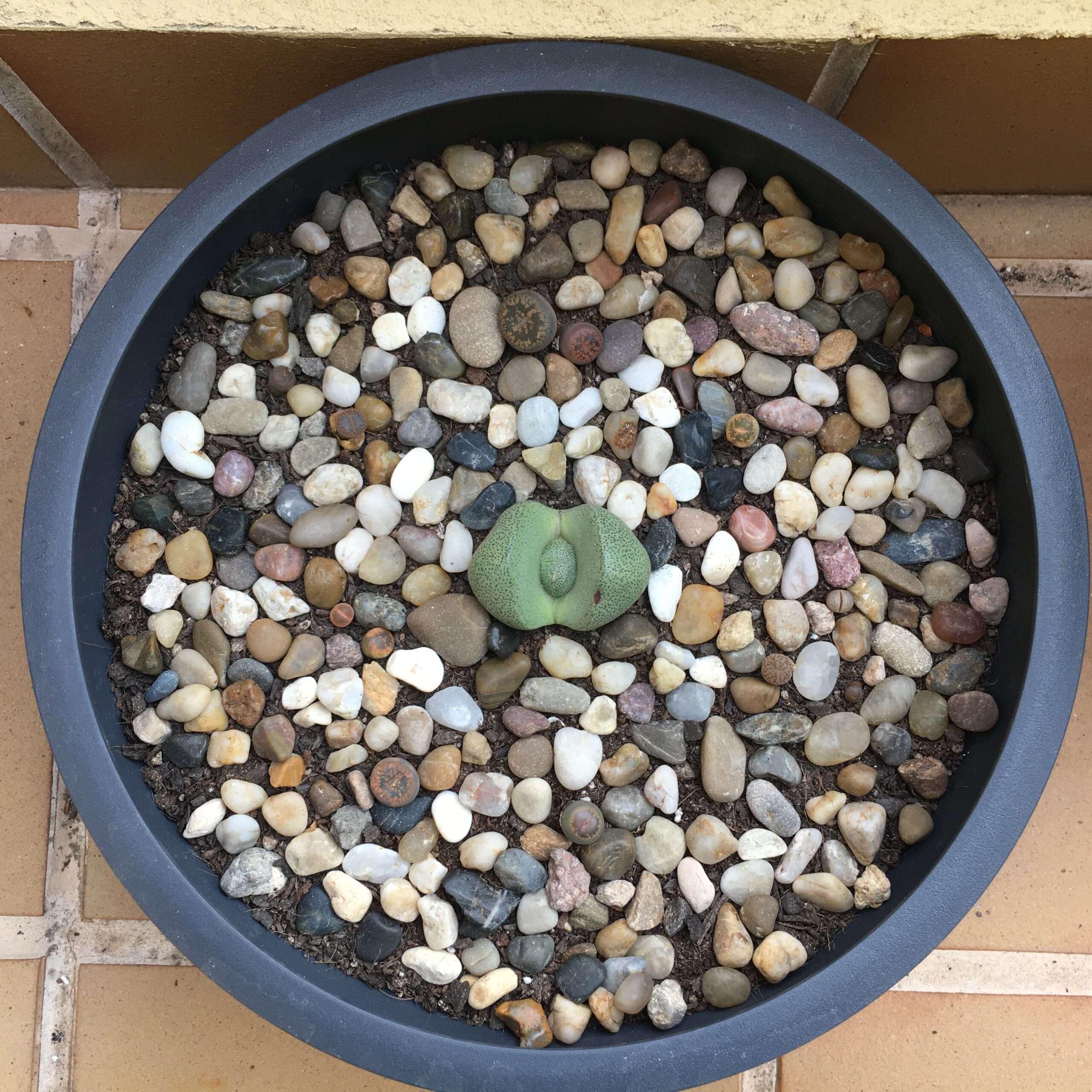 cuidados de los cactus piedra