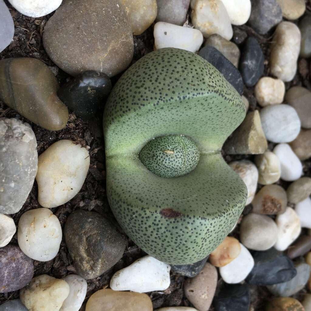 roca viviente verde