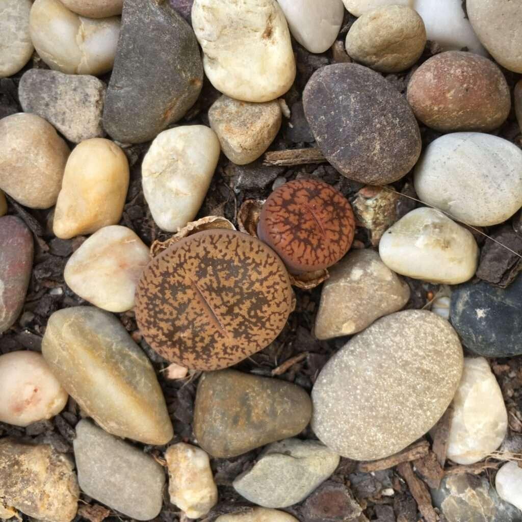 plantas piedra como cuidarlas