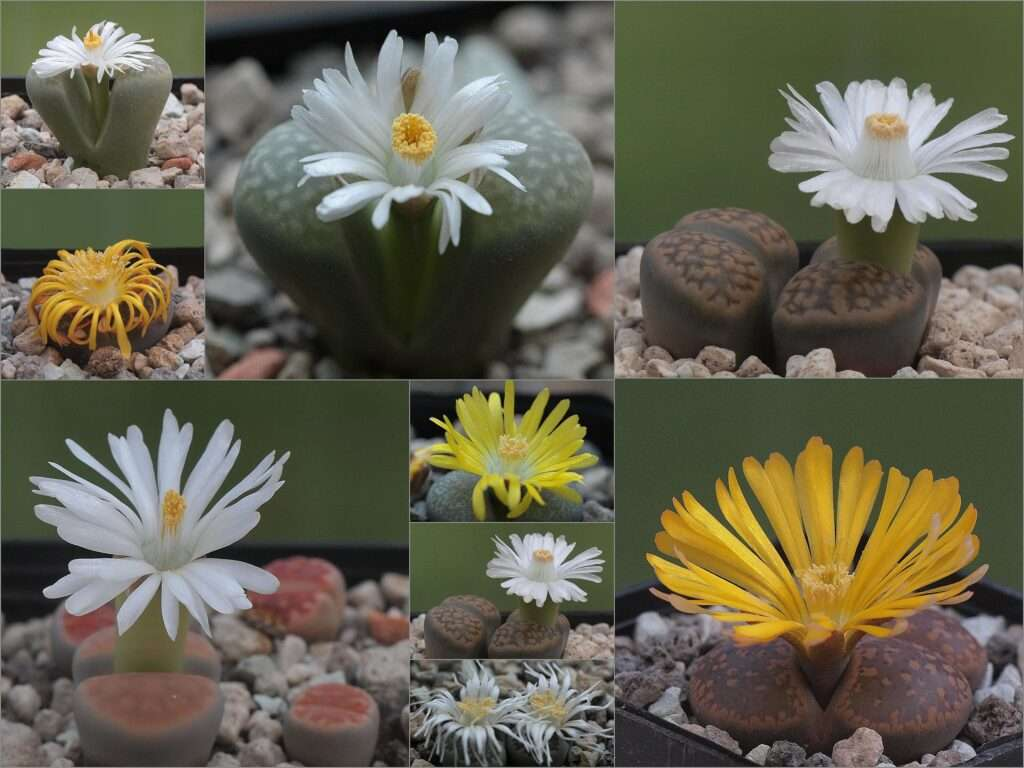 collage lithops flores