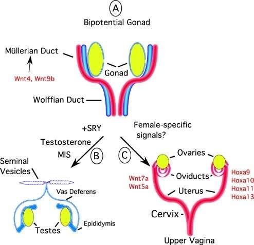 diferenciacion tejido gonadal en mamiferos conducto mulleriano wolff