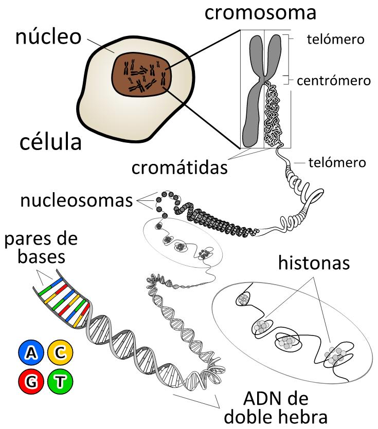 cromosomes DNA doble hélice cromosoma celula nucleo cromatida bases nitrogenadas
