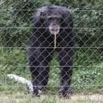 """Conseqüències de la captivitat en primats: el drama rere les """"rialles"""" dels ximpanzés"""