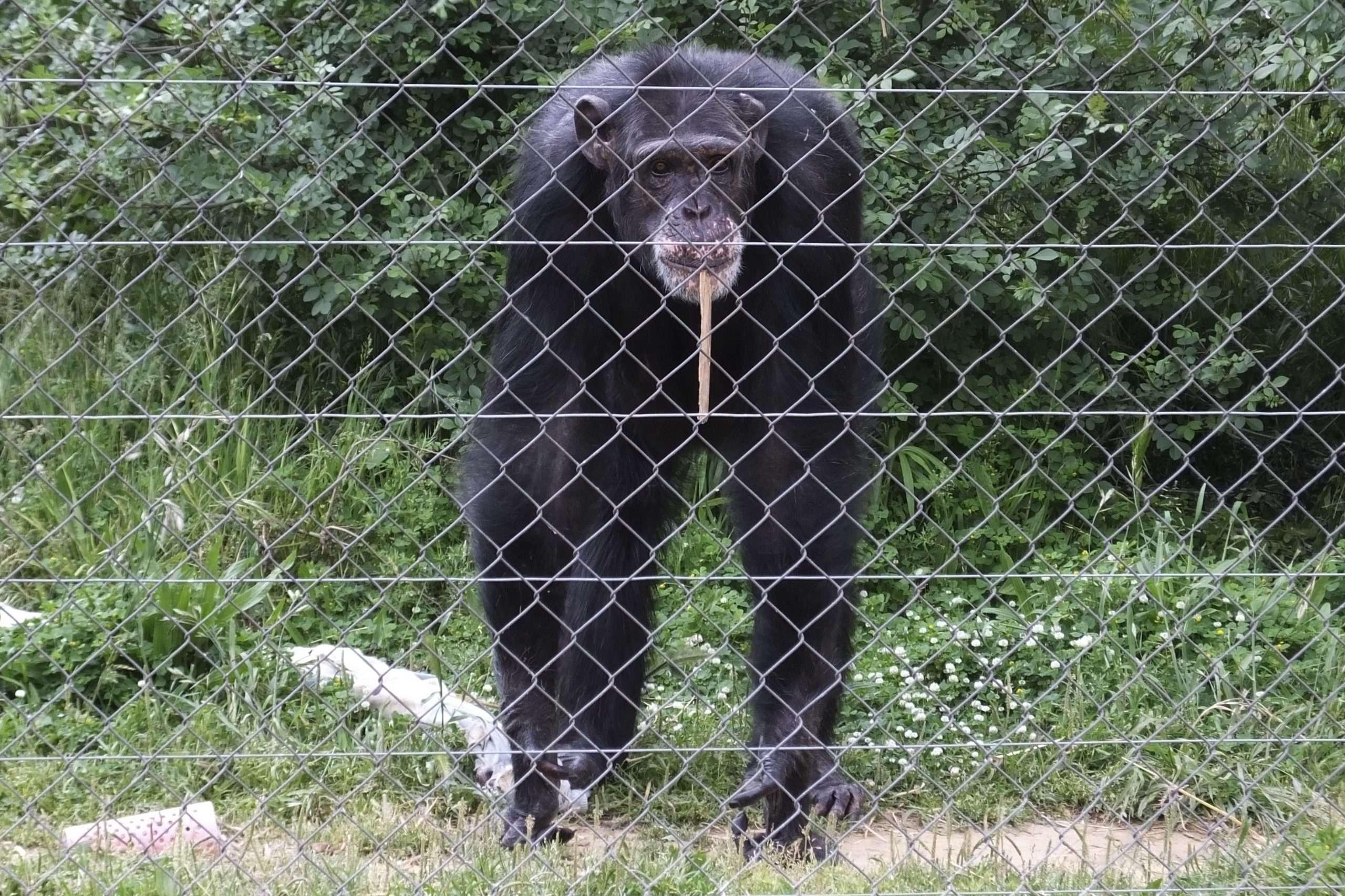 """You are currently viewing Conseqüències de la captivitat en primats: el drama rere les """"rialles"""" dels ximpanzés"""