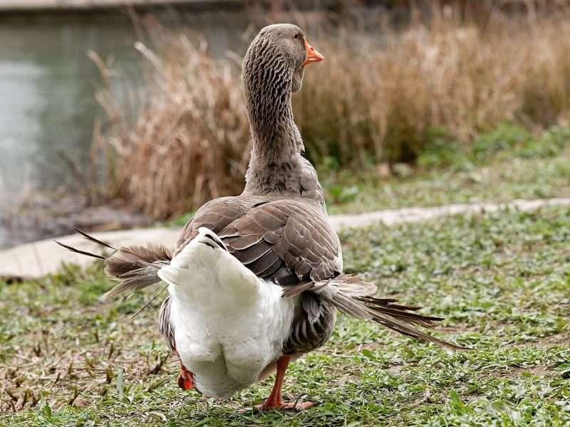 ala d'angel enfermedad patos ocas gansos no dar de comer pan