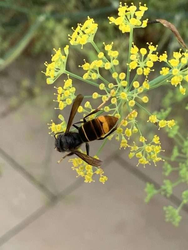 avispa asiatica vespa velutina