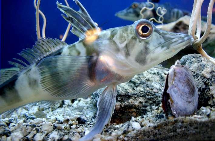 pez de hielo pez draco colores de la sangre transparente