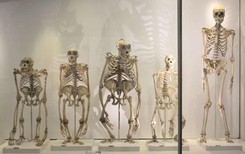 esqueletos de grandes simios hominidos bípedos esquelet humà ximpanze goril·la orangutan comparats