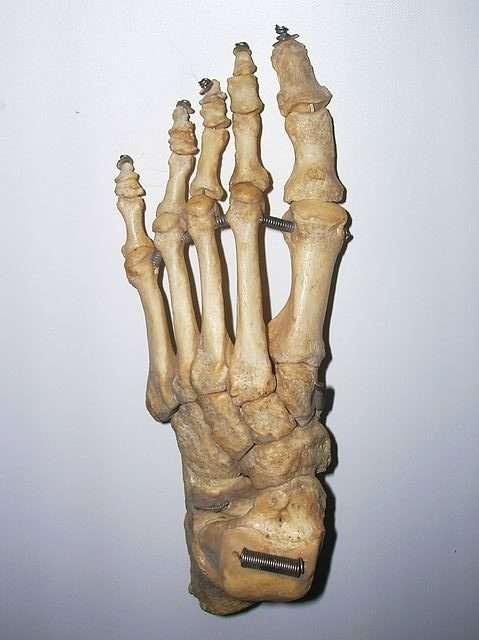esqueleto pie homo sapiens dedos bipedestación bipedisme ossos peu
