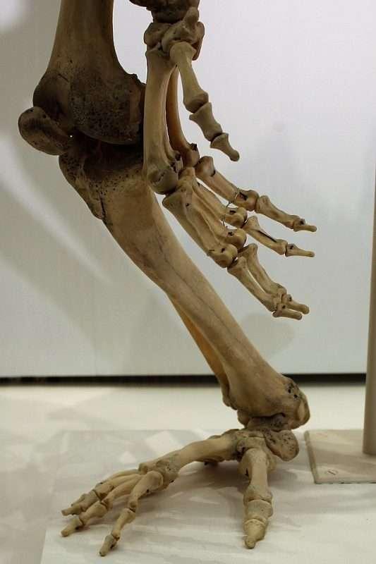 esqueleto pie gorila ossos peu goril·la