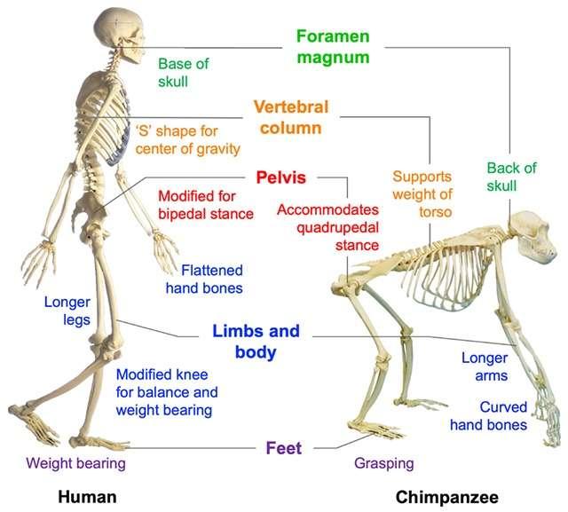 cambios anatomicos morfologicos bipedestación bipedismo canvis esquelet anatomics bipedisme huma ximpanze