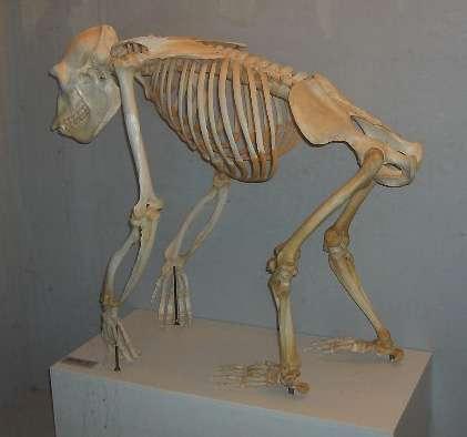 columna vertebral ximpanze cuadrupedo